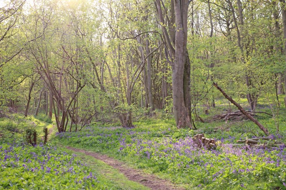 bluebell-wood-bluebells-saffron-walden