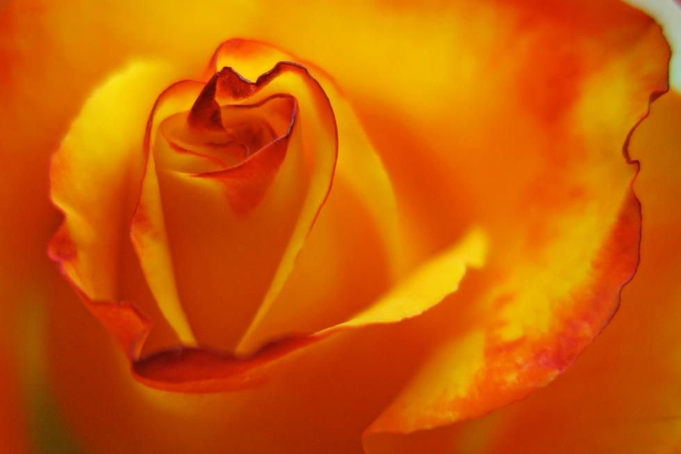 rose-flower-photography-saffron-walden-essex-smallerimage